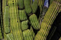 20-10-PGC-0611_Organ-Pipe-cactus_Donald-Burnell