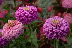 21-02-PGC-4008_Garden-Flowers_Terry-Hamilton